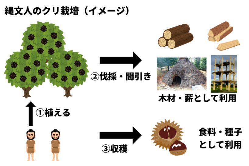 縄文人のクリ栽培のイメージ