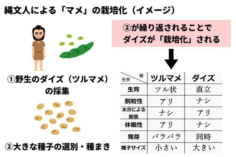 縄文人による「マメ」の栽培化のイメージ